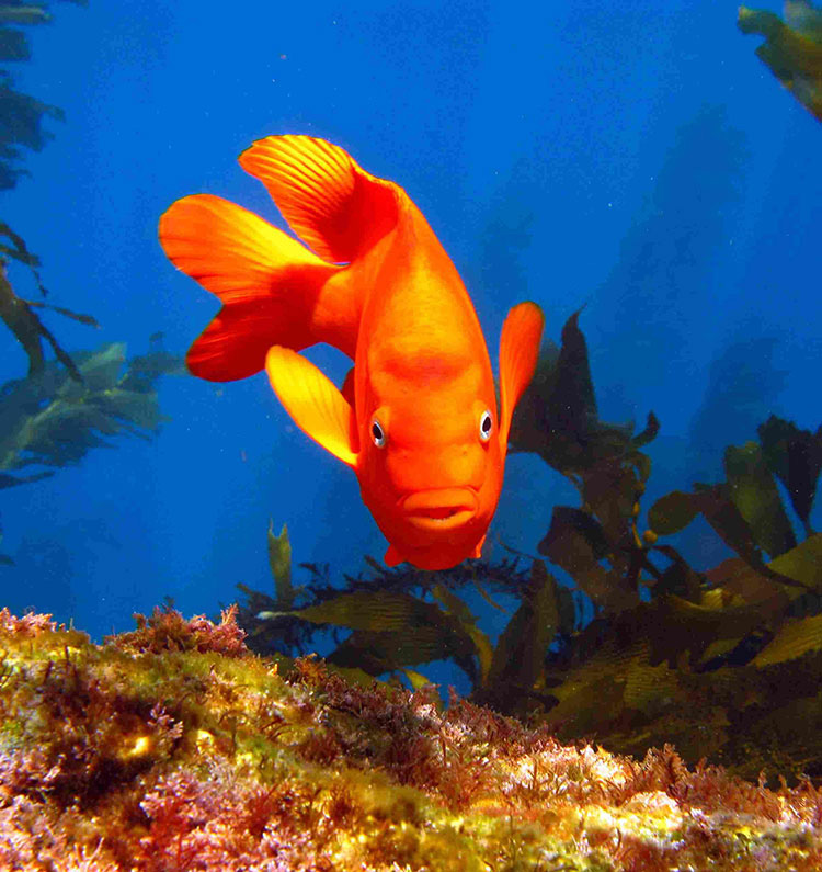 Garibaldi; Casino Point Dive Park; Catalina Island; Avalon; California