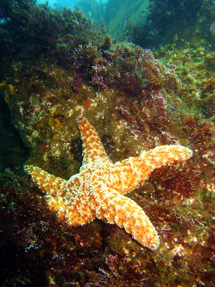 Ocher Star; Casino Point Dive Park; Catalina Island; Avalon; California