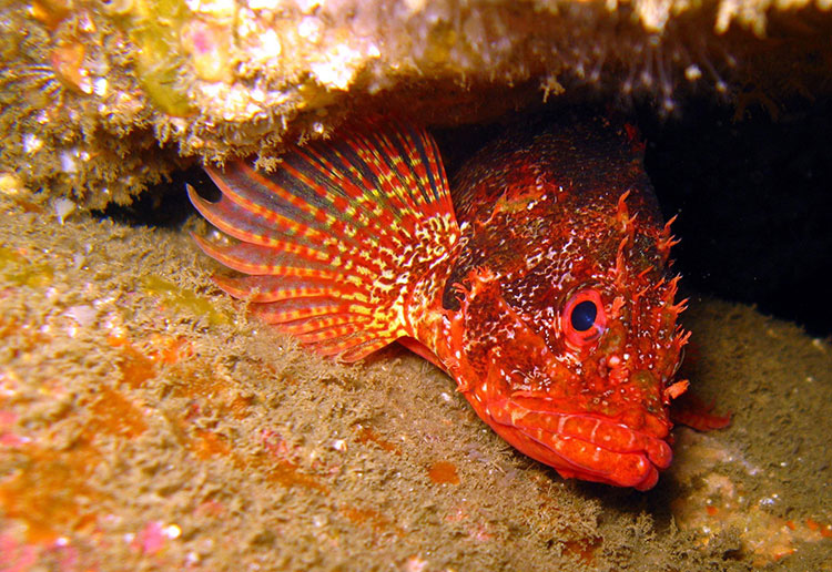 Rainbow Scorpionfish; Casino Point Dive Park; Catalina Island; Avalon; California
